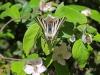 Swallowtail - 6