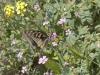 Swallowtail - 2
