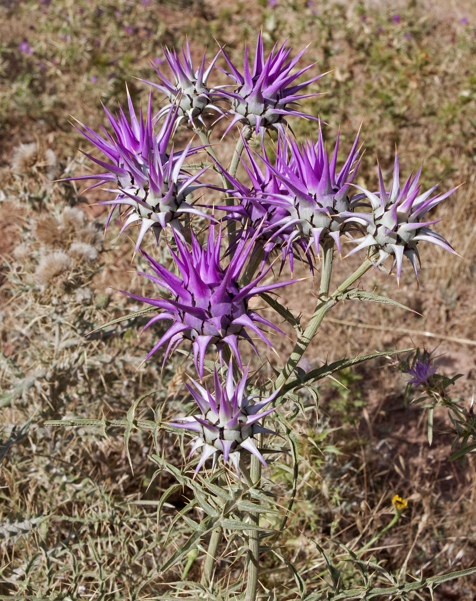 Moroccan Thistles - 14a