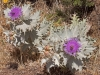 Moroccan Thistles - 4