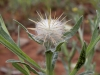 Moroccan Thistles - 3