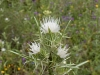 Moroccan Thistles - 2