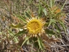 Moroccan Thistles - 1