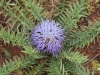 Moroccan Thistles - 13